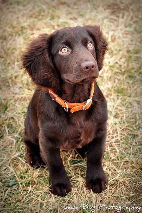 Boykin Spaniel Dog Quotes. QuotesGram