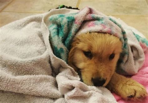 taking care of golden retriever golden retriever pup bathes and towels all by himself