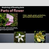 Flower Parts Carpel | 960 x 720 jpeg 92kB