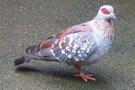 pictures of pigeons and doves