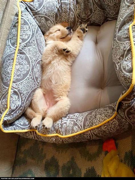 golden retriever beds best 25 retriever puppies ideas on golden retriever puppies retriever