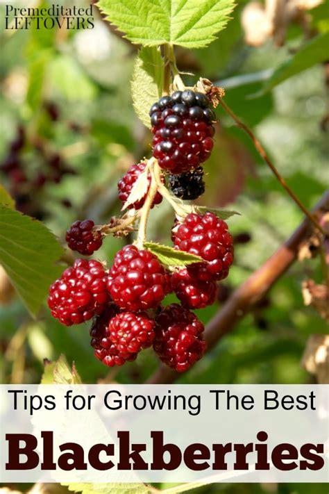 tips  growing blackberries