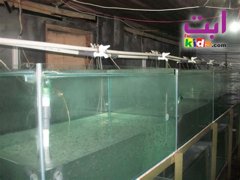 Jual Bibit Ikan Sidat Bogor jual bibit patin forum tani abata fish 081328030055 jual