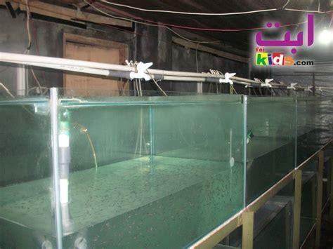 Jual Pakan Larva Ikan cara budidaya larva ikan patin di ukuarium hingga benih