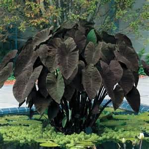 black magic elephant ear plant the vivarium pinterest