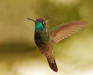 May Ranch magnificent hummingbird male photo tom grey photos at