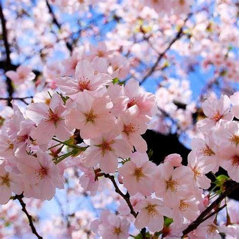 bunga sakura gambar  cantik benarkah gambar bunga