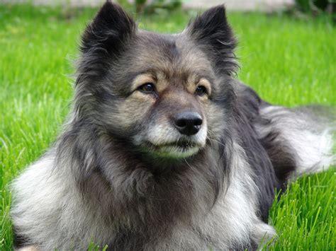 keeshond dogs darmowe zdjęcia wyścigi kręgowiec uwaga rasa psa