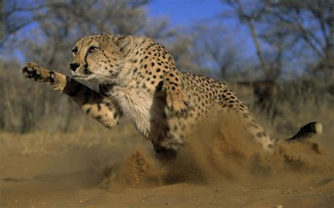 picture   attacking cheetah hd animals wallpapers