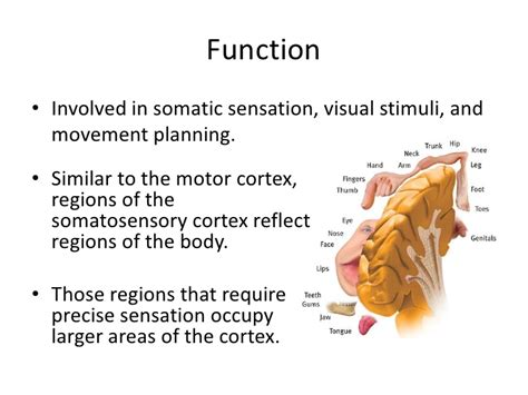 primary motor cortex function and location the somatosensory cortex