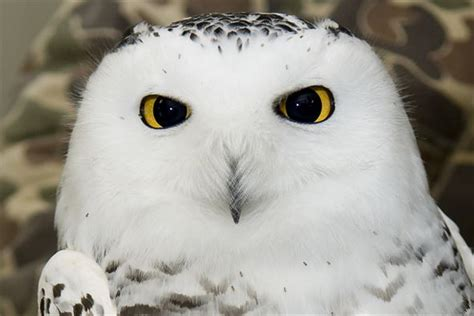 White Owl L Base by Snow Brings Snowy Owl To Grissom Gt Grissom Air Reserve