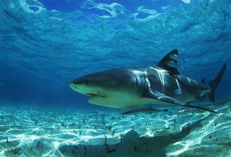 baby shark hd shark pics in high resolution best sharks and killer