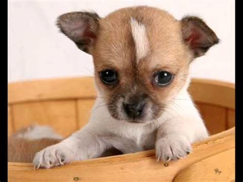 best little house dogs top 10 favourite small dog breeds youtube