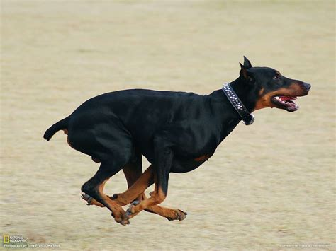 how fast do dogs run how fast a doberman can run many