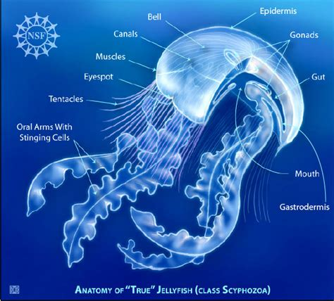 diagram of a jellyfish biobook leaf what are jellyfish and their allies