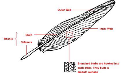 feather diagram identification