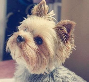 do yorkies change color yorkie colors and coats with pictures search results hairstyle galleries