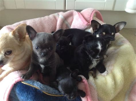 tea cup puppies for sale teacup chihuahua dogs breeds picture