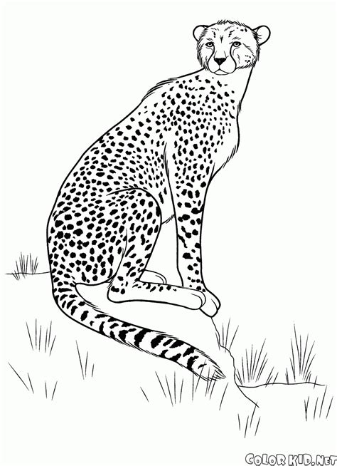 cheetah coloring pages coloring page cheetah on the hunt