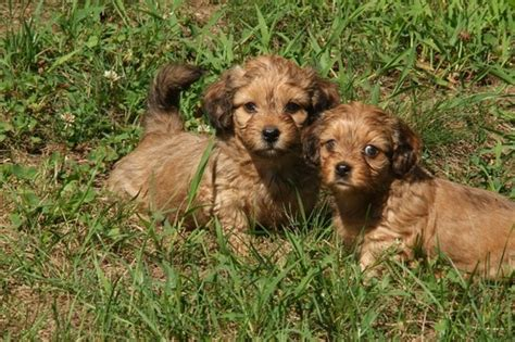 schweenie puppies schweenie dachshund shih tzu mix info puppies temperament pictures