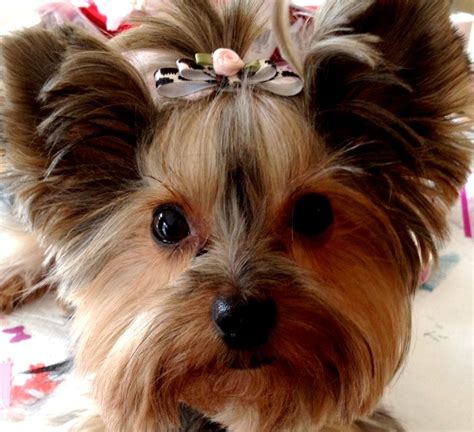bows for yorkies yorkie bows breeds picture