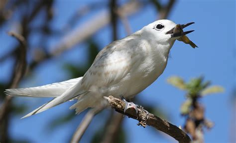 hawaii white tern finally a native hawaiian bird the