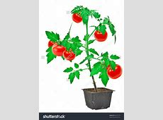 Tomato shrub clipart - Clipground Free Baby Related Clipart