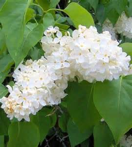 Lilac Tree Information Gallery For Gt White Lilac Tree Information