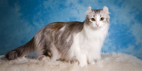 American Curl   Information, Characteristics, Facts, Names