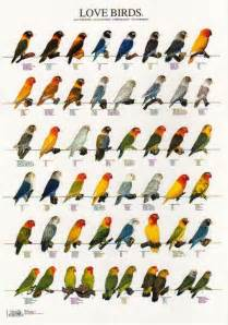 lovebird colors bird color mutationsreal human heartcountry cats