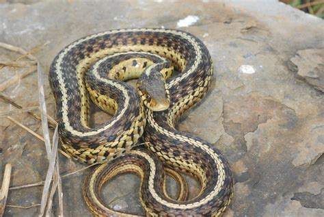 Garter Snake Ky Field Herp Forum View Topic Some Western Ky Herps
