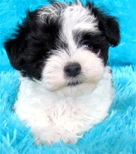 yorkie poo vs maltipoo black and white maltese poodle mix photo happy heaven