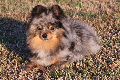 blue pomeranian pictures best 25 blue merle pomeranian ideas on merle pomeranian blue pomeranian