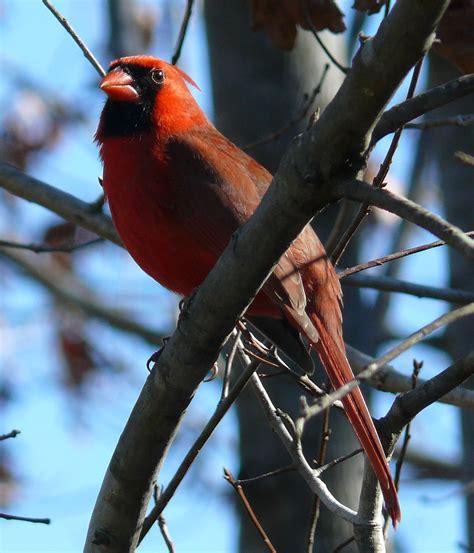 list of birds of north carolina wikipedia