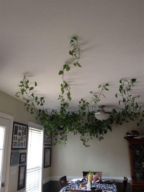 hanging vine plants   ceiling  hanging hooks