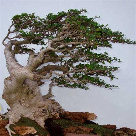 Pohon Kemangi Atau Suraung beberapa bentuk dasar bonsai indonesia tanamanbonsai