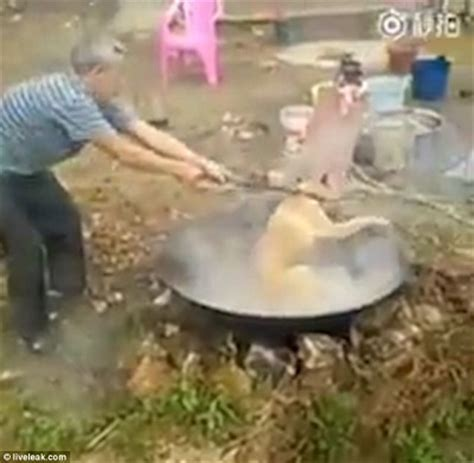 boiling dogs in wickedness cooks live in boiling water for photos