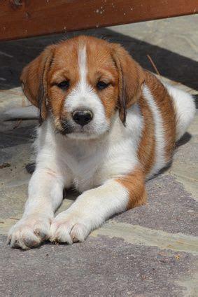 mini lab puppies best 25 miniature labrador ideas on lab puppies labs and black lab puppies
