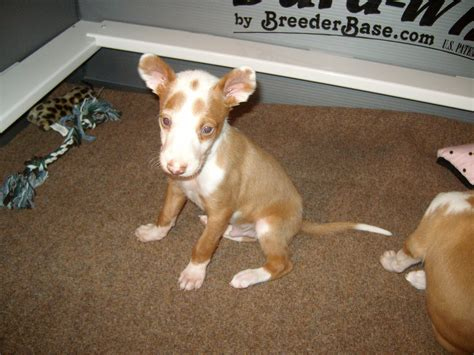 ibizan hound puppies the puppies the adults the seniors