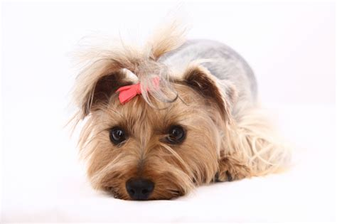 wanted yorkie puppy wanted terrier stud waterlooville hshire pets4homes