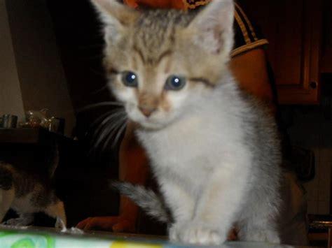 alimentazione gattini 2 mesi annunci gatti regalo gattini