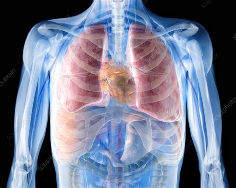 heart  lungs  ray artwork stock image p