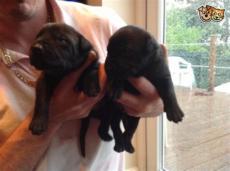 rottweiler puppies for sale cardiff adorable and friendly staffy cross rottweiler pups cardiff cardiff pets4homes