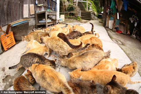 japan s aoshima island cats outnumber humans six to one cat heaven japan s cat island where felines outnumber