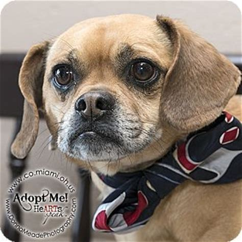 ohio pug rescue available dogs 25 best ideas about beagle mix on beagle mix