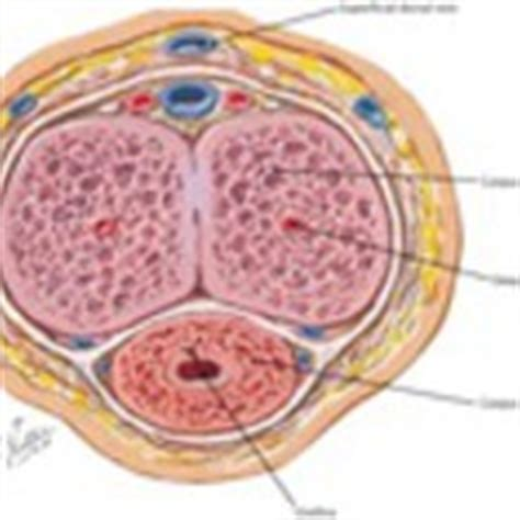 cross section of the penis section through the shaft of the penis