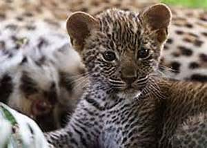 How Many Babies Does A Jaguar You Won T Want These Baby Leopards To Change Their Spots