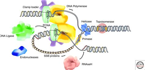 5 proteins in dna replication organization of dna replication 5 outline of dna