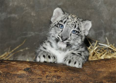 Month old snow leopard cub born at brookfield zoo on june 13 is