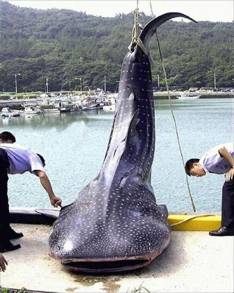 nanda firsta blog kumpulan ikan ikan terbesar terseram